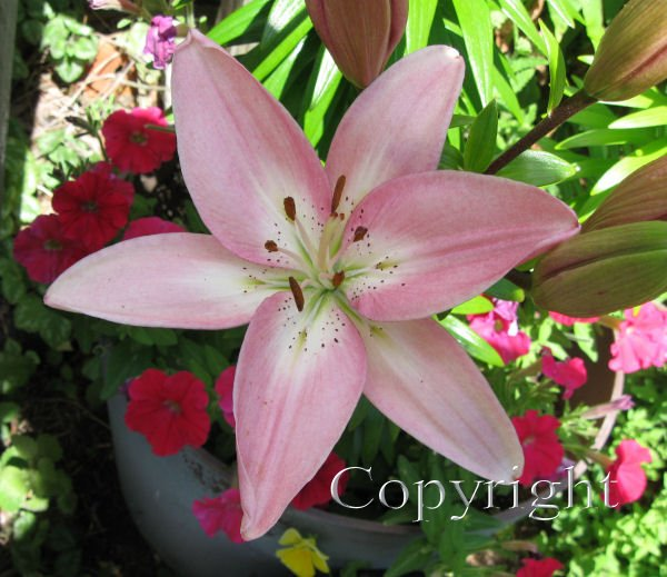 lily,asiatic