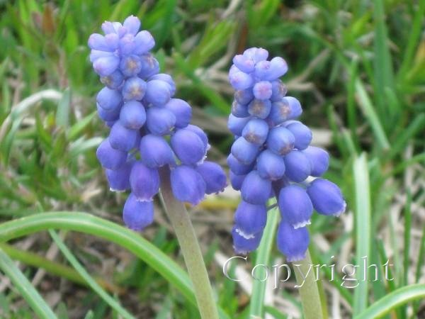 Hyacinth, Blue Grape