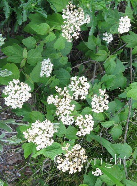 Viburnum, Maple Leaved